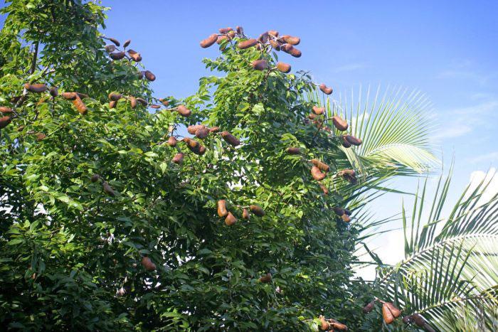 Mature-Stinking-Toe-Fruits-on-the-plant