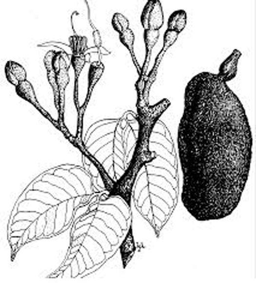 Sketch-of-Stinking-Toe-plant