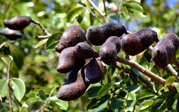 Stinking-Toe-Fruit