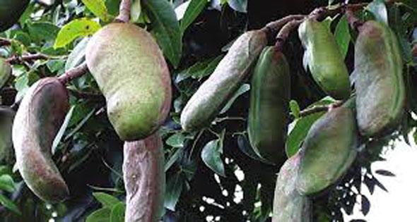 Unripe-fruits-of-Stinking-Toe-Fruit