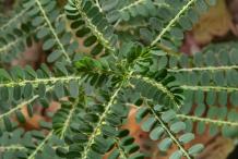 Leaves-of-Stone-Breaker-herb