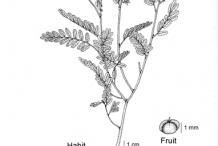 Sketch-of-Stone-Breaker-herb
