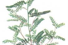 Plant-Illustration-of-Stone-breaker-herb