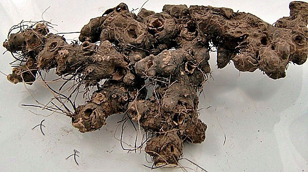 Dried-roots-of-Stone-Root