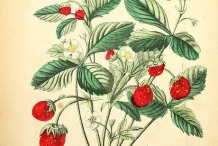 Illustration-of-Strawberries-plant