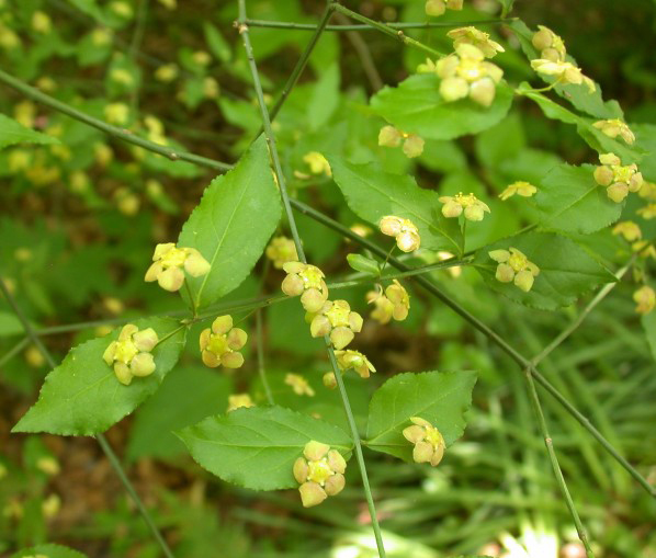 Flowers-of-Strawberry-Bush
