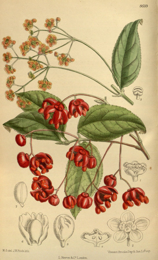 Plant-Illustration-of-Strawberry-Bush