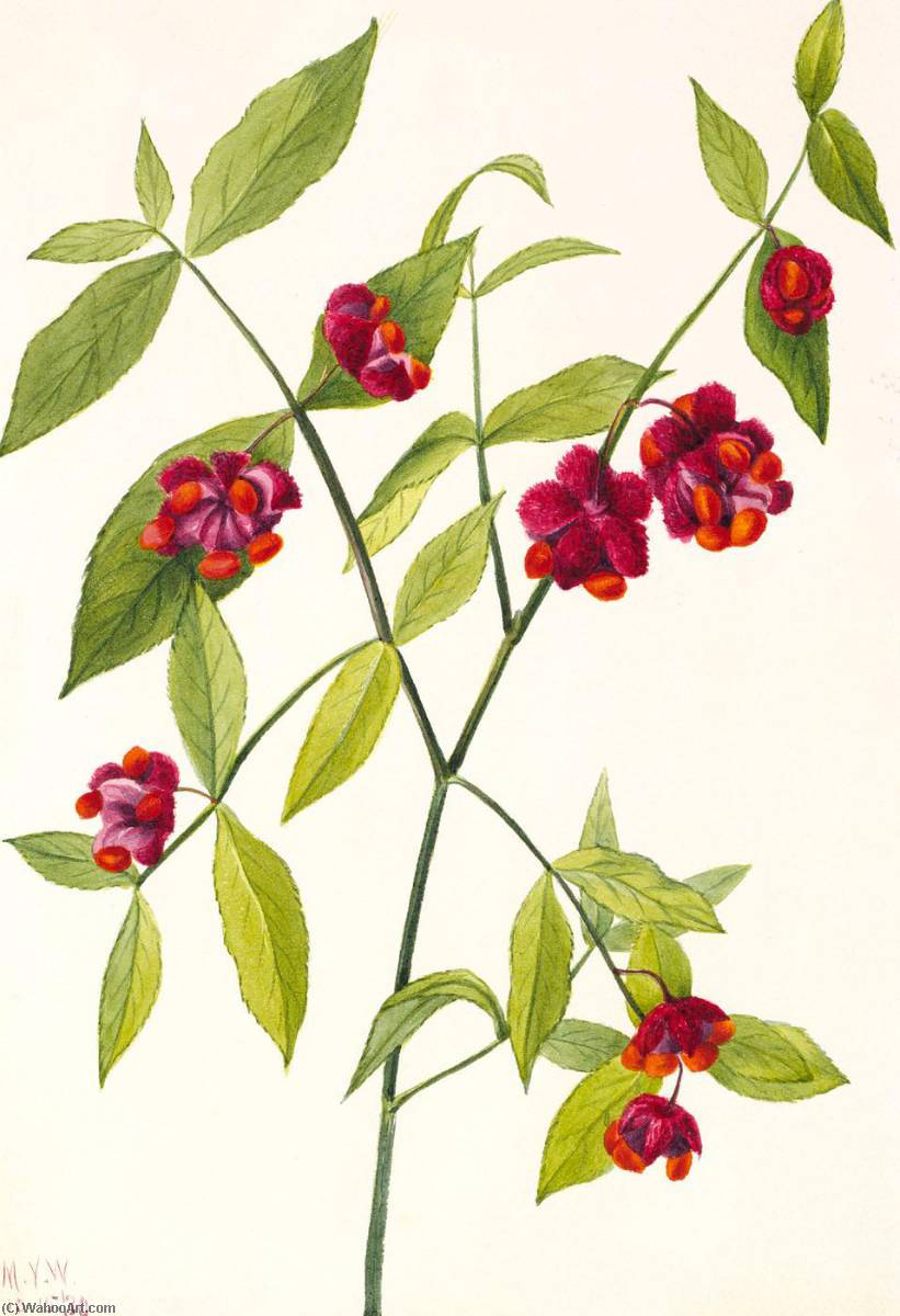 Sketch-of-Strawberry-Bush