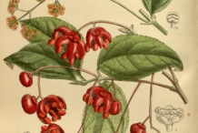 Plant-Illustration-of-Strawberry-Bush