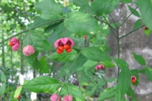 Mature-fruits-of-Strawberry-Bush-on--the-plant