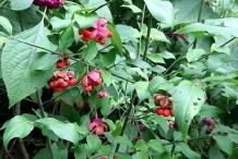 Strawberry-Bush-plant-growing-wild