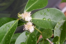 Flower-of-Strawberry-Guava