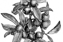 Sketch-of-Strawberry-Guava