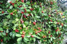 Strawberry-Guava-plant-growing-wild