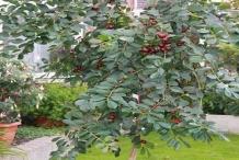 Strawberry-Guava-plant