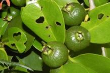 Unripe-Strawberry-Guava