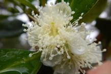 Closer-view-of-flower-of-Strawberry-Guava