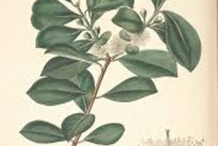 Plant-illustration-of-Strawberry-Guava