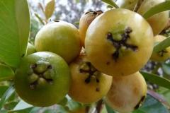 Yellow-Strawberry-Guava
