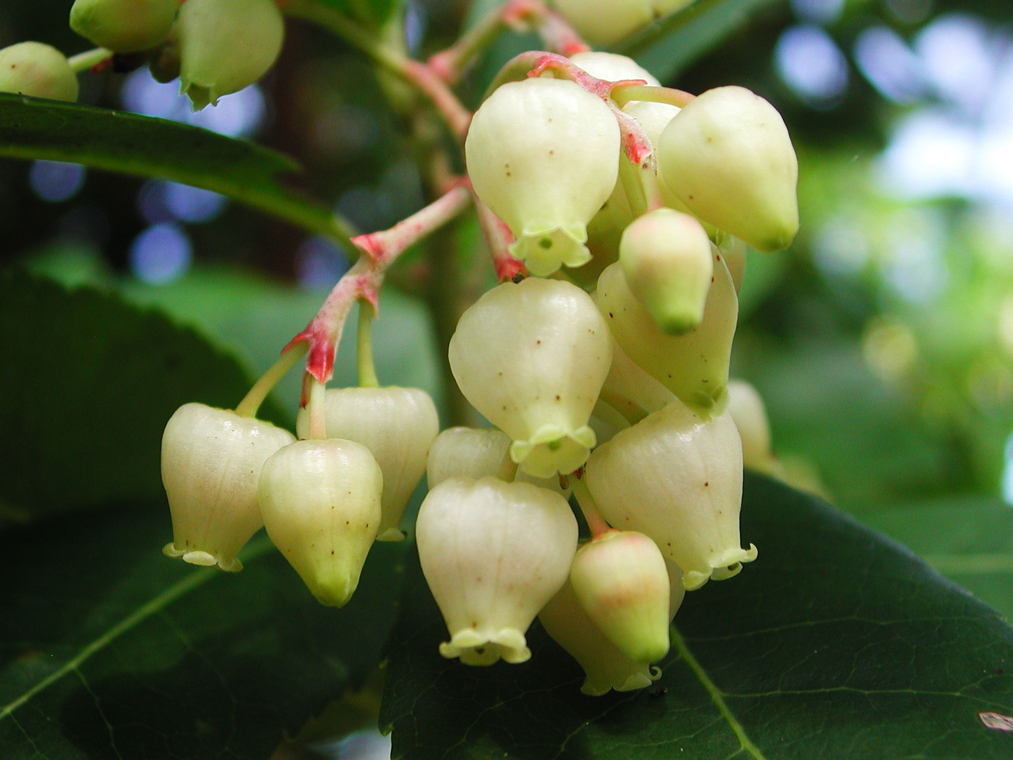 Strawberry-tree-flower-white