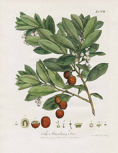 Strawberry-tree-illustration