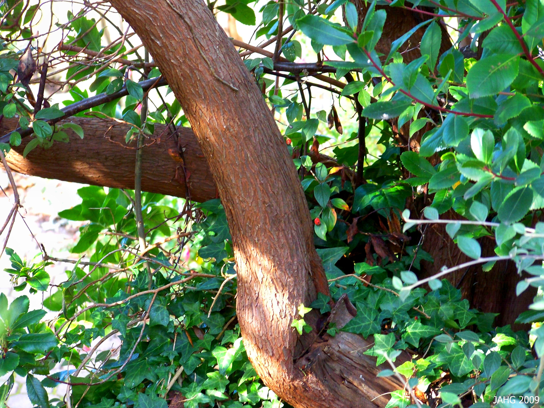 Strawberry-tree-trunk-and-leaves