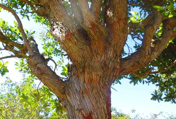 Strawberry-tree-trunk