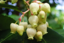 Strawberry-tree-flower-white