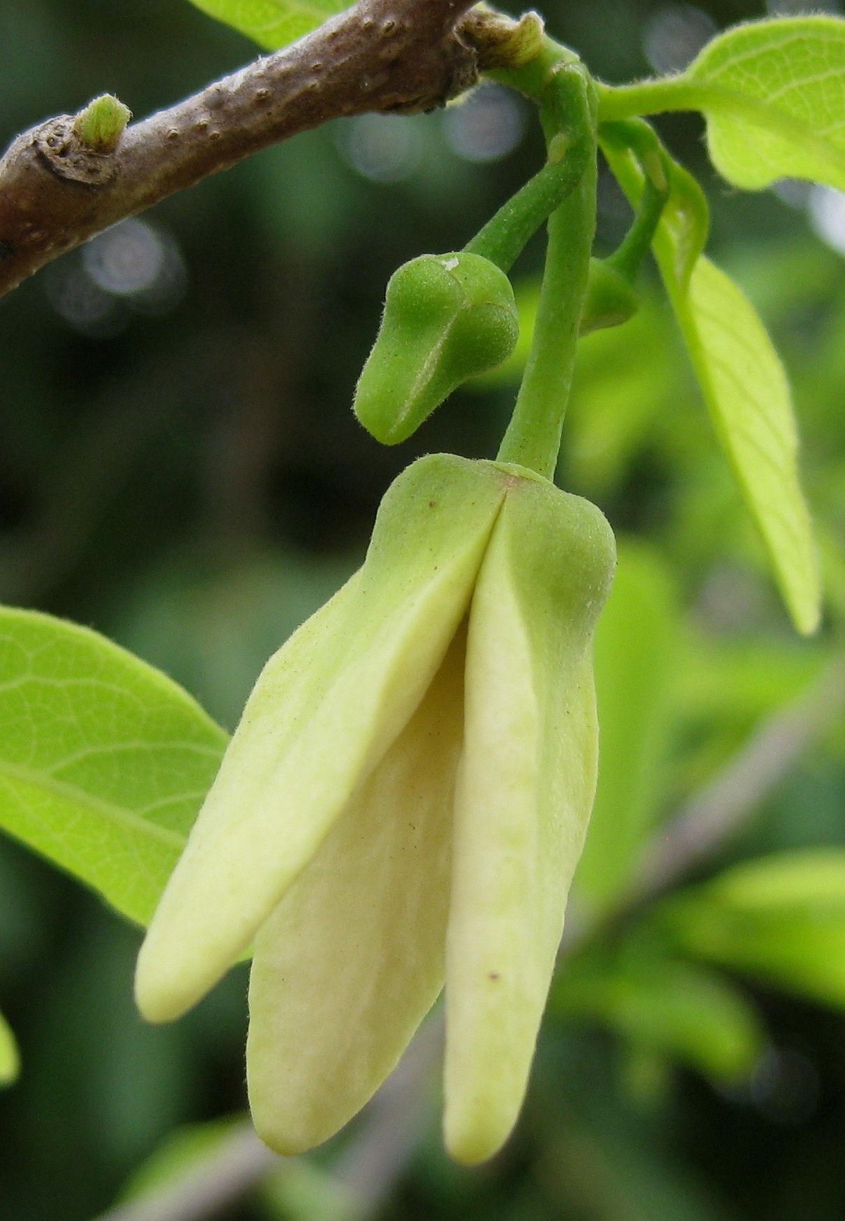 Close-up-flower-of-Sugar-Apple