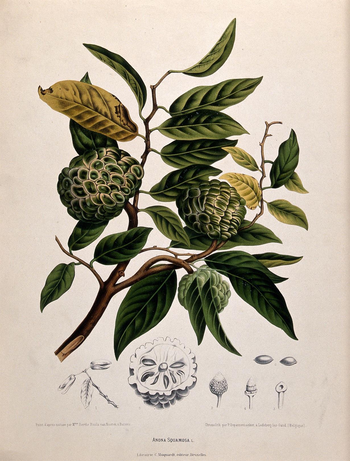 Illustration-of-Sugar-Apple