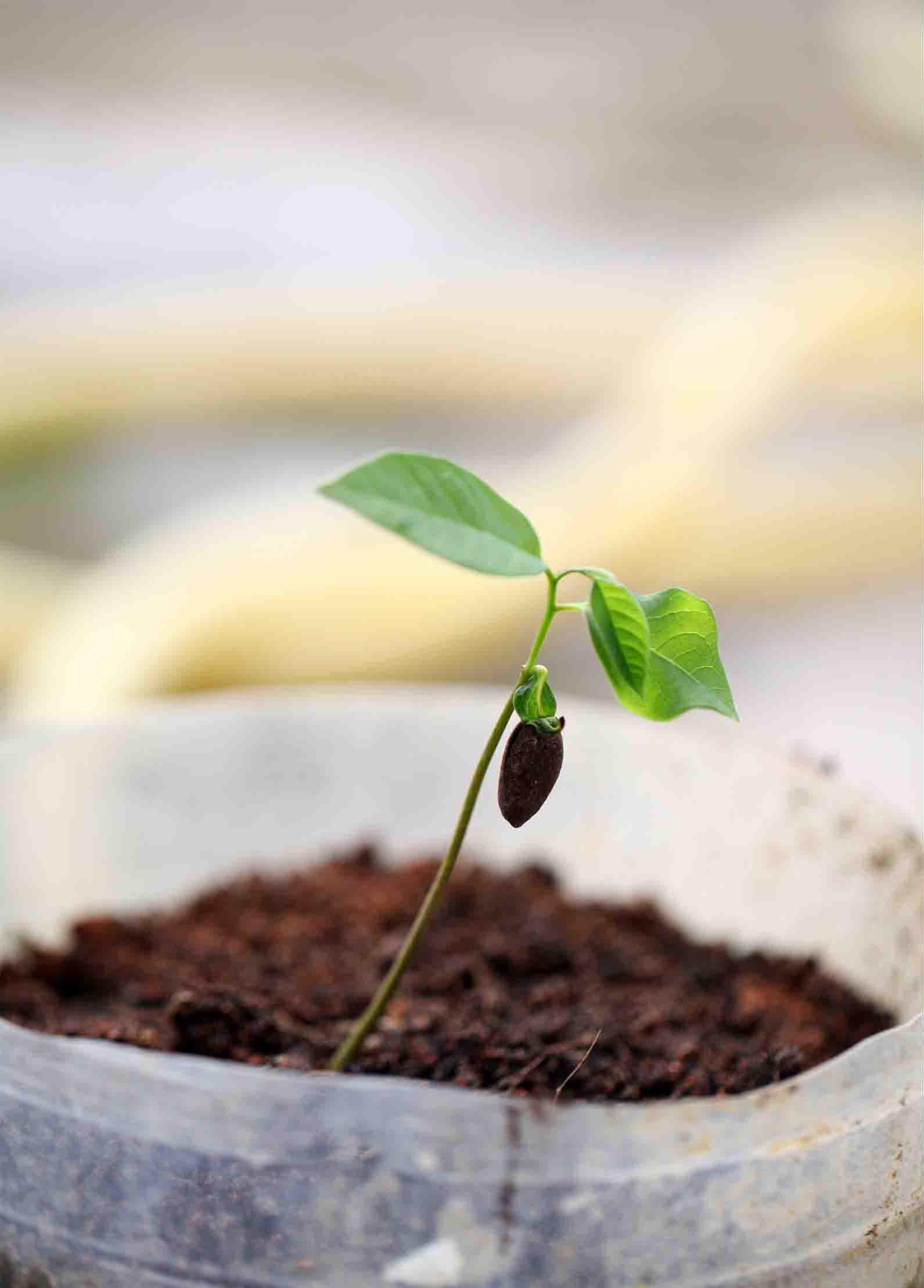 Sugar-Apple-plant