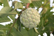 Sugar-Apple-fruit