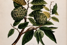 Illustration-of-Sugar-Apple