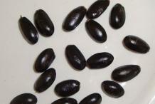 Sugar-Apple-seeds