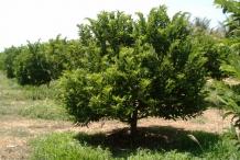 Sugar-Apple-tree