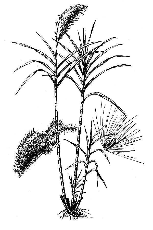 Drawing-of-Sugar-Cane
