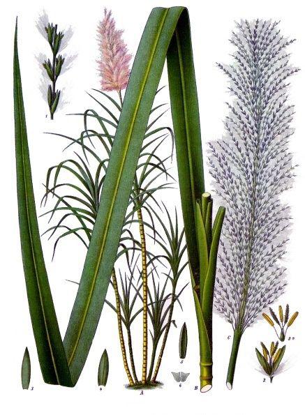 Illustration-of-Sugar-Cane