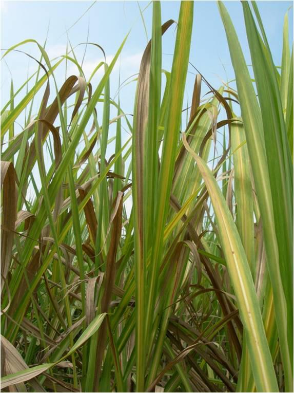 Leaves-of-Sugar-Cane