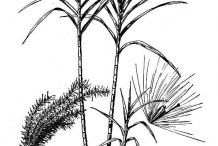 Drawing-of-Sugar-Cane