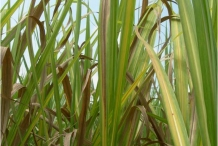 Leaves-of-Sugar-Cane