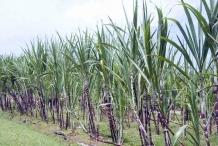 Sugar-Cane-farm
