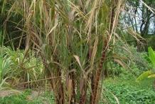 Sugar-Cane-plant