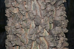 Bark-of-Sugarberry