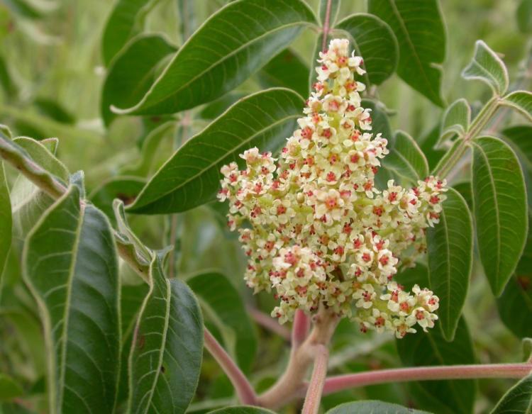 Flowers-of-Sumac