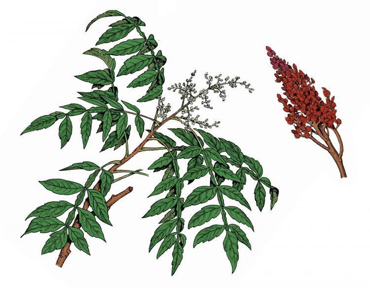 Plant-illustration-of-Sumac