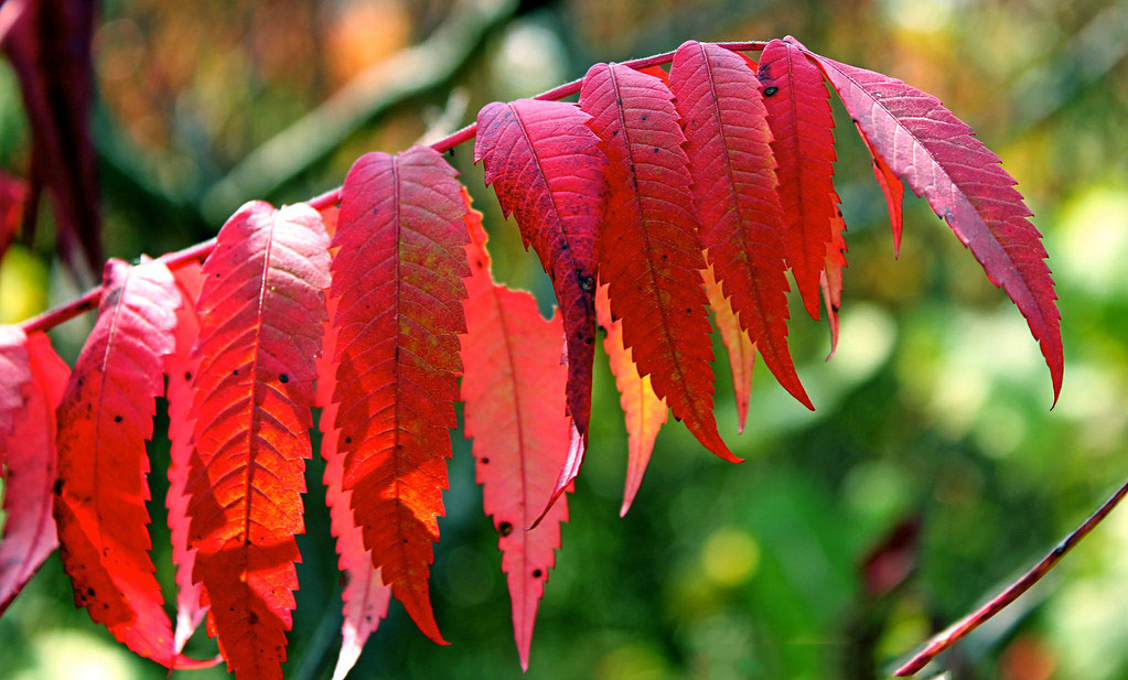 Red-Sumac-Leaves