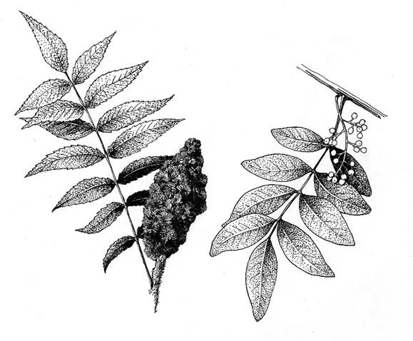 Sketch-of-Sumac