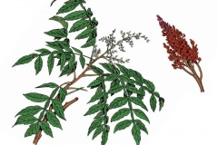 Plant-illustration-of-Sumac