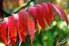 Red-Sumac-Leaves