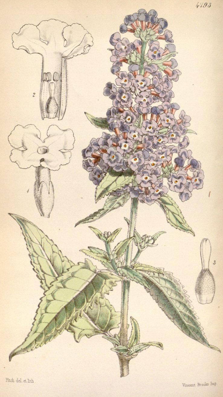 Plant-illustration-of-Summer-lilac